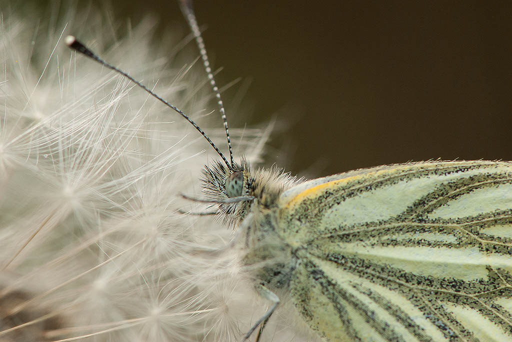 Green-veined butterfly (Artogeia napi)